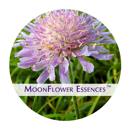 moonflower essence - wild scabious image