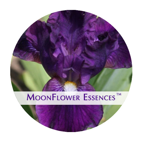 moonflower essences - wish upon a star flower