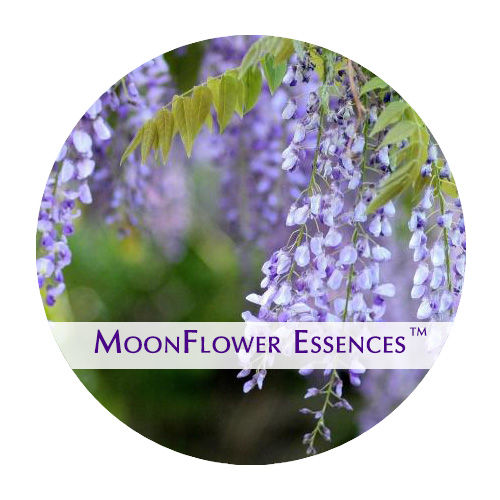 moonflower essence - wisteria image