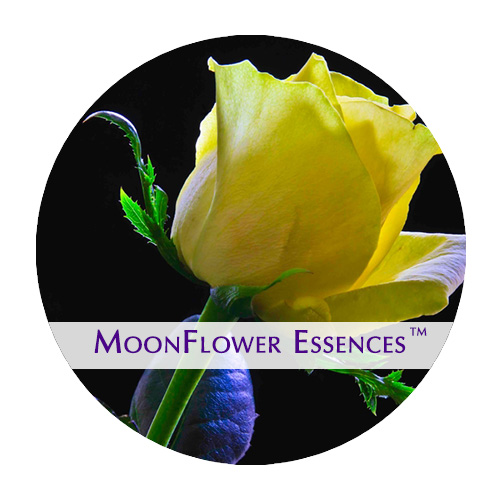 moonflower essence - yellow rose image