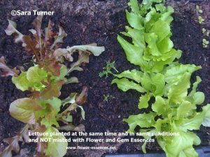 Lettuces not misted with Essences